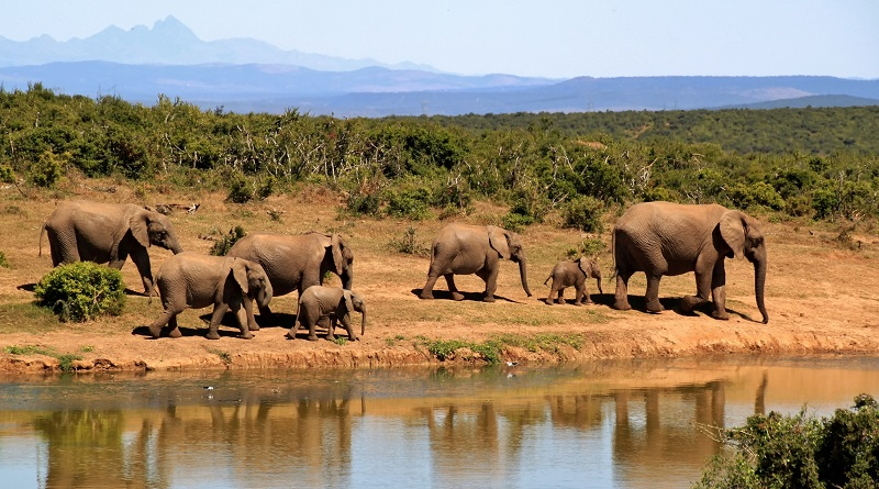 Elephant herd on African safari